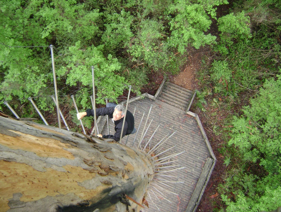 The Bicentennial Tree:  Climbing a 300+ foot tree up to the lookout platform!