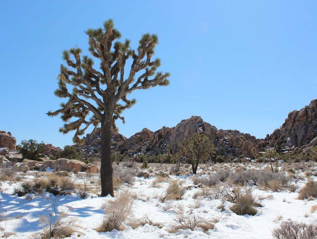 A Joshua Tree Winter