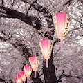 Original japan sakura1.jpg?1490017735?ixlib=rails 0.3