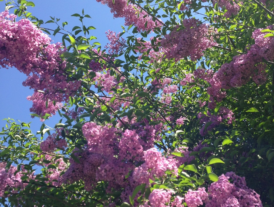 Lilacs in Full Bloom New York New York United States