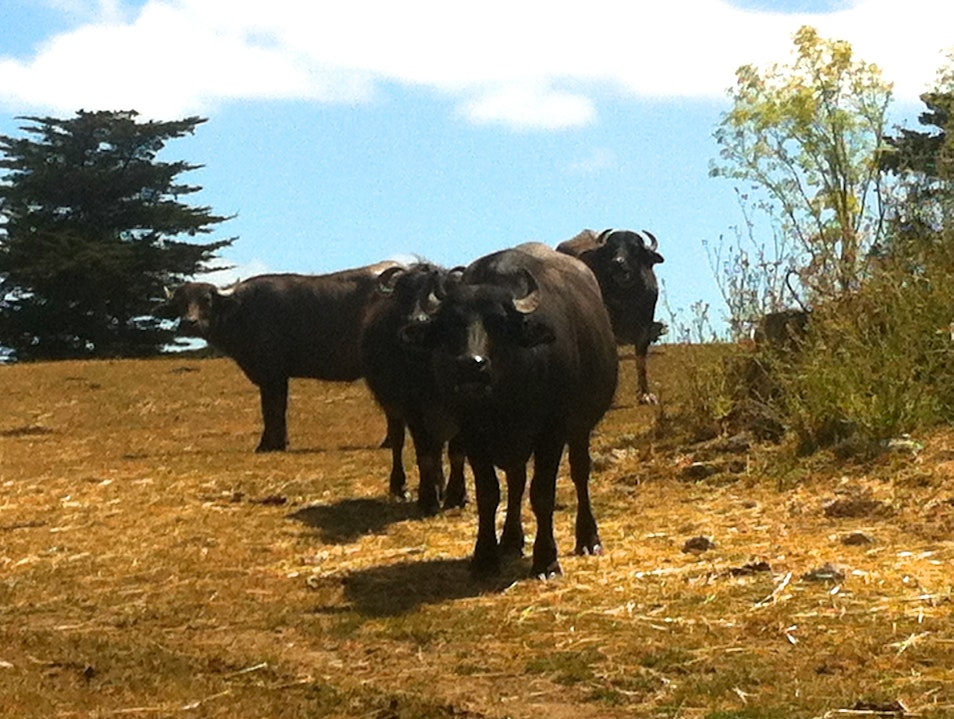 Water Buffalo herd at Ramini Mozzarella Tomales California United States