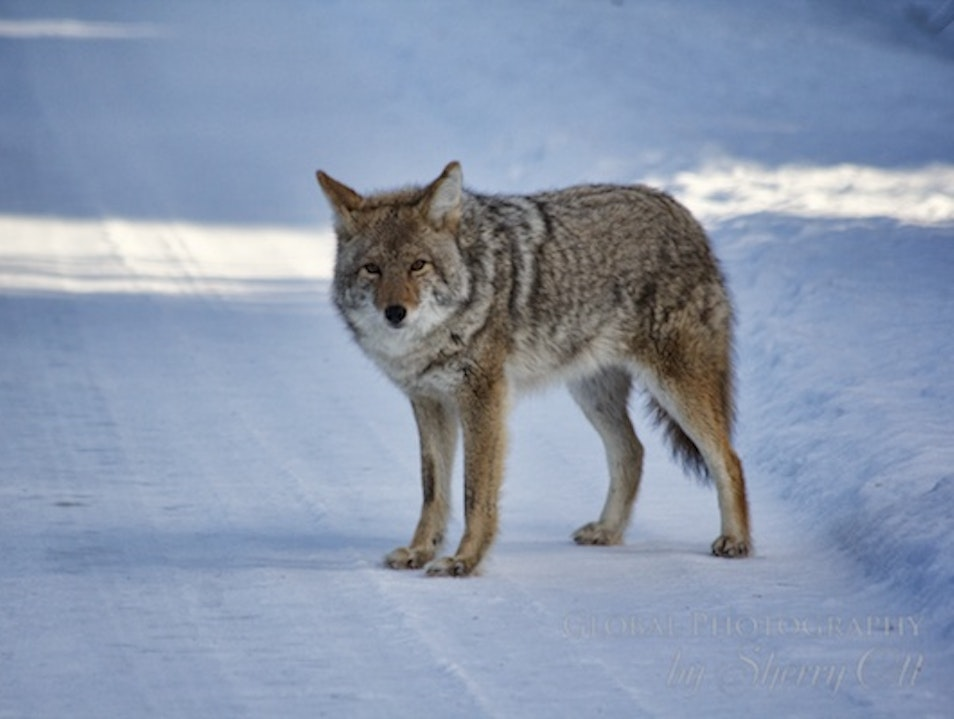 Get Close to Nature with a Winter Safari   Canada