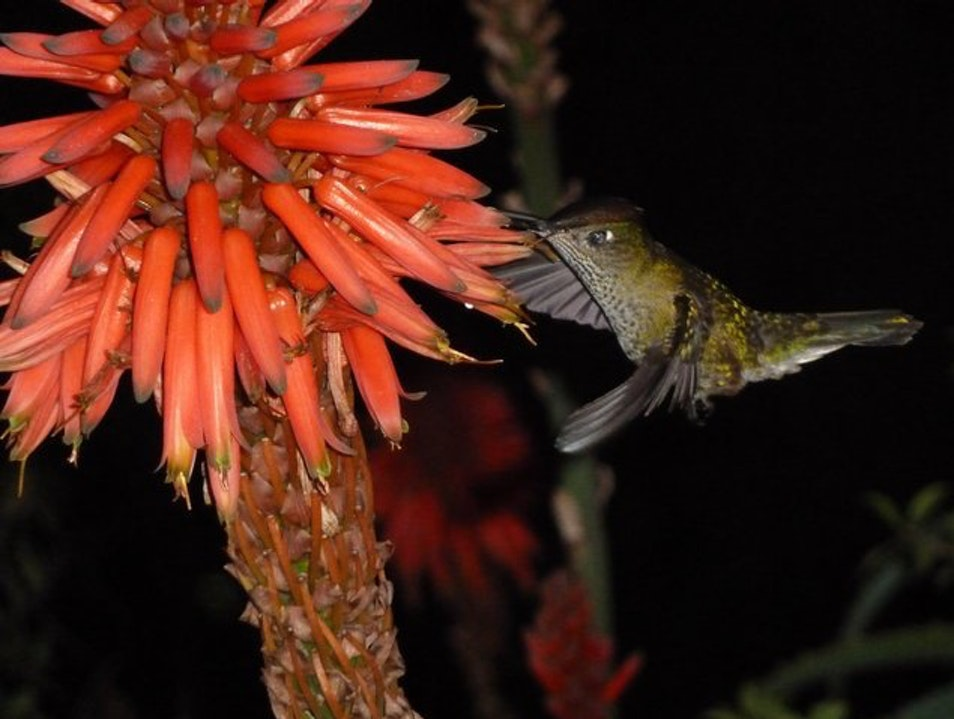 A little hummingbird hard at work at Cerro Santa Lucia. Santiago  Chile