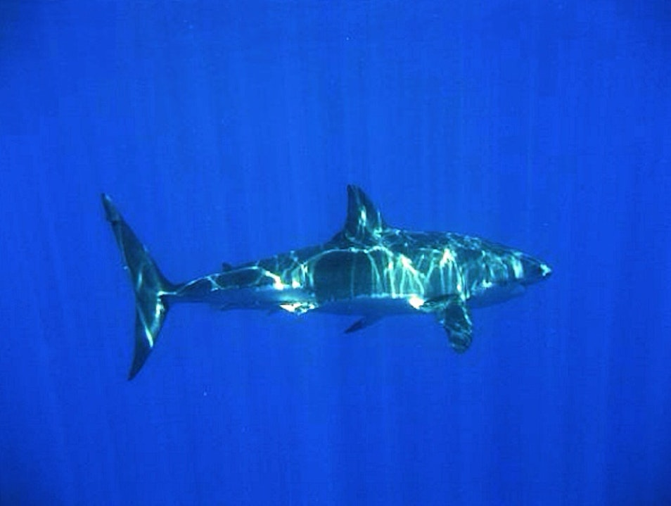 Swimming With Great Whites Baja California  Mexico