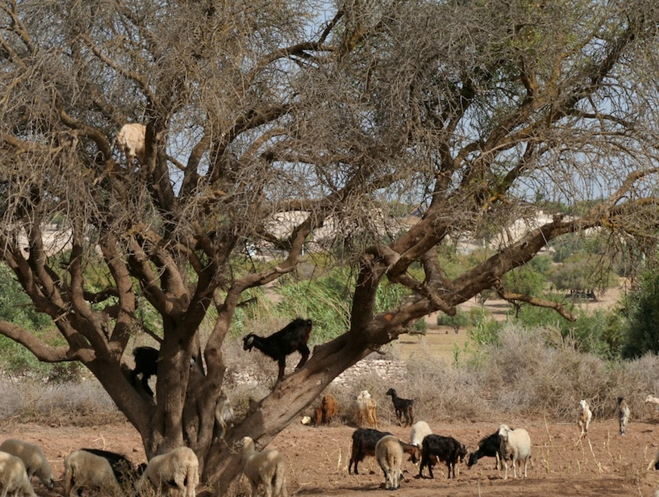 Goats in Trees Diabat  Morocco