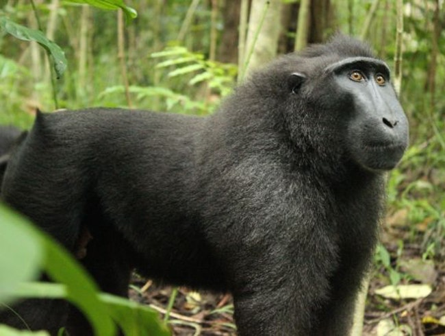 Waking up with Sulawesi Crested Macaques