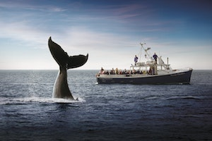 Whale-Watching in the Bay of Fundy