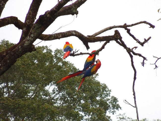Noisy, colorful Scarlet Macaws