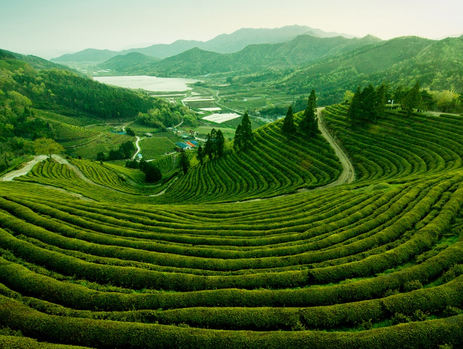 Boseong Green Tea Plantation, Jeollanam-do, South Korea. Boseong Gun  South Korea