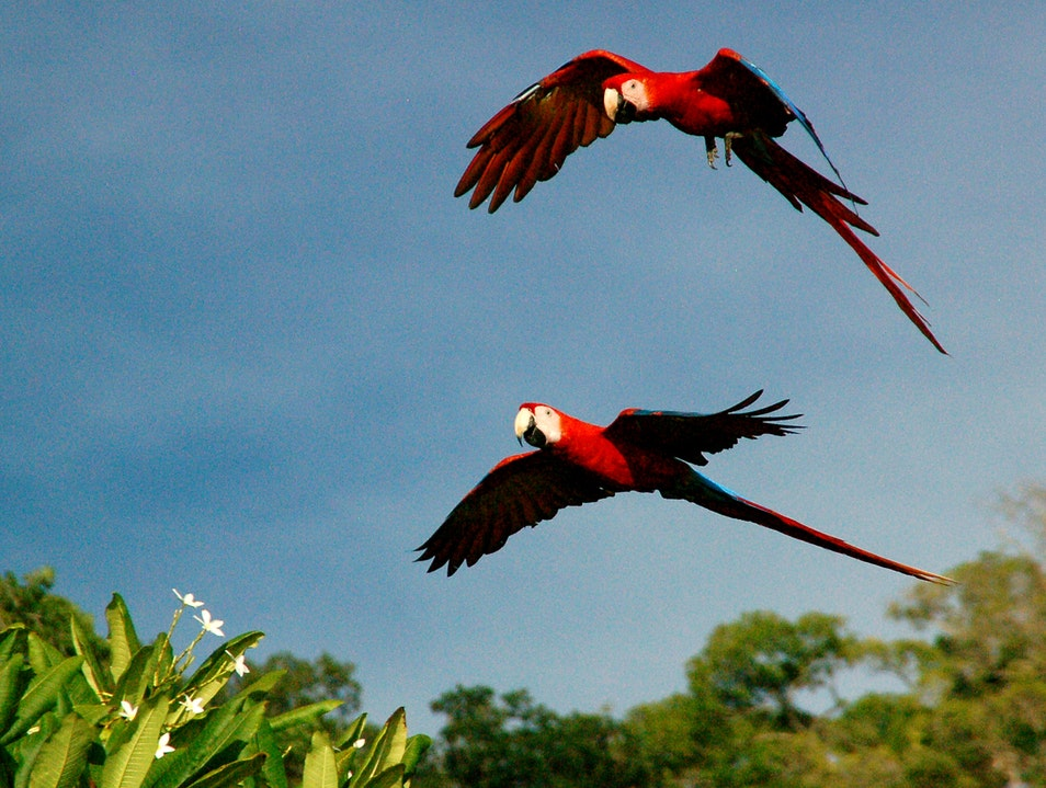 Unexpected Scarlet Macaws: North of Hermosa Puntarenas  Costa Rica