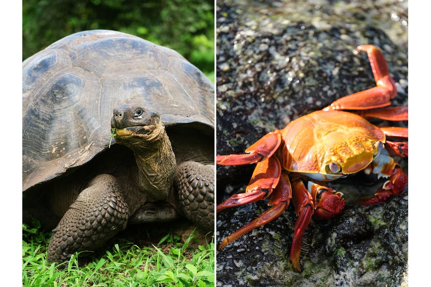 Left: Galapágos tortoises can weigh more than 900 pounds. Right: Sally Lightfoot crabs are numerous in the Galápagos.
