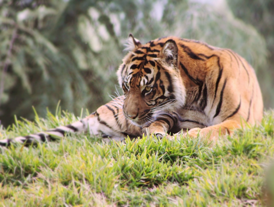 Getting Up Close to Tigers Escondido California United States