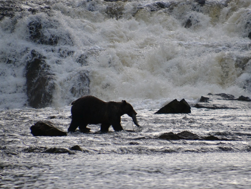 A, B, C's of Brown Bear Viewing Sitka Alaska United States