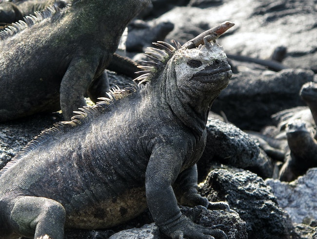 Galapagos Marine Iguana, and Friend