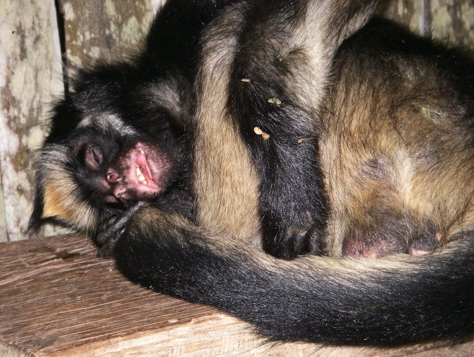 A Refuge for Sleepy Monkeys in the Amazon Tena  Ecuador