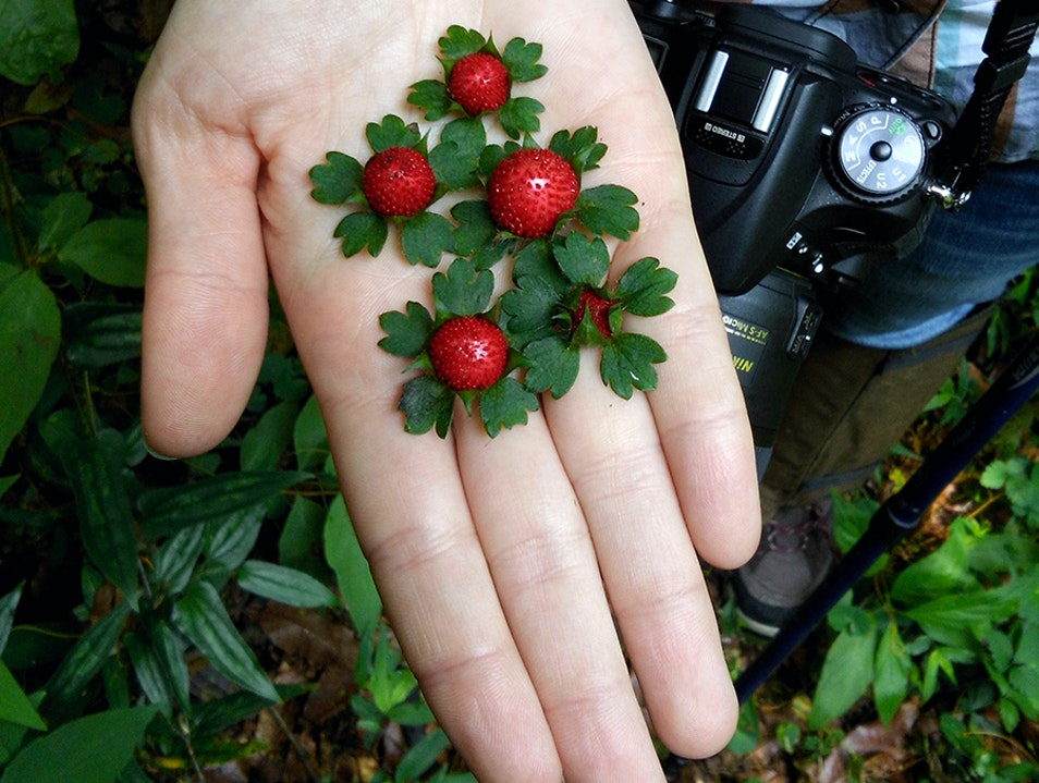 Wild strawberries Jalpan De Serra  Mexico