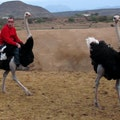 Highgate Ostrich Show Farm Oudtshoorn  South Africa