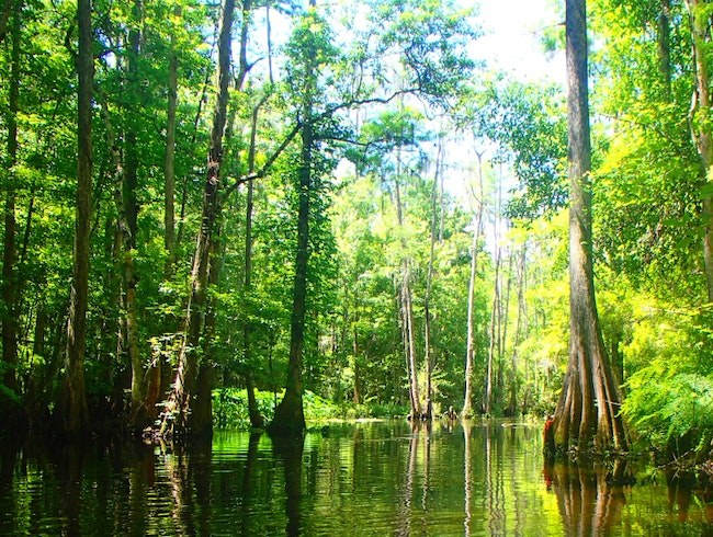 Kayaking down Shingle Creek into the cypress forest.