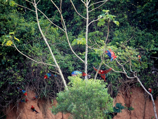 Scarlet Macaws at a clay lick...