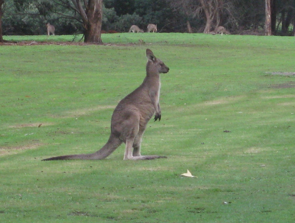 Kangaroos in the Backyard