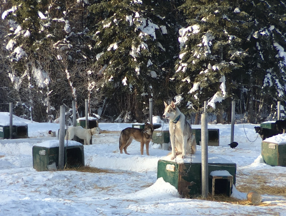 Take a Tour of the Dog Kennel, Make New Friends Fairbanks Alaska United States