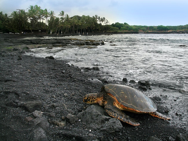 Sea Turtles and Black Sand