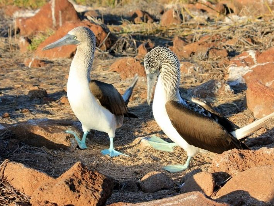 See the Blue-Footed Booby Mating Dance