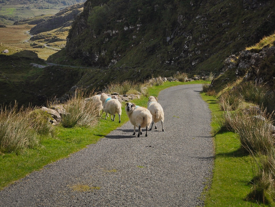 Disturbing the Locals While Cutting Across the Ring of Kerry Killarney  Ireland