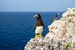 Brown Booby Bird Watching Sister Islands  Cayman Islands