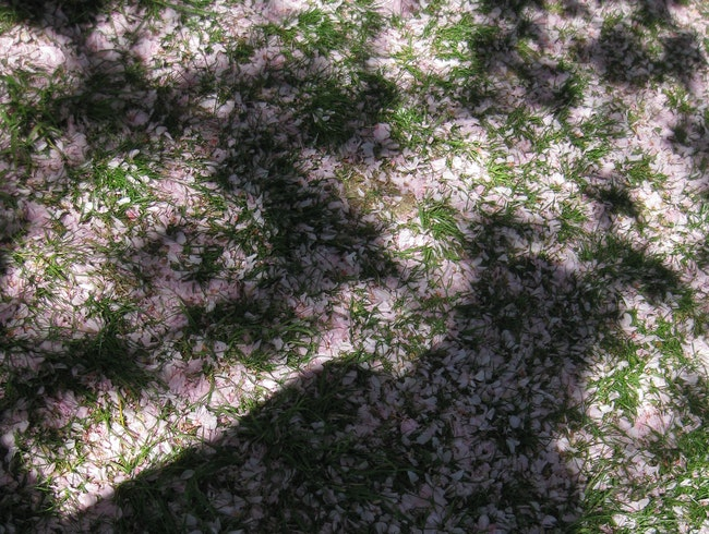 end of the Cherry Blossoms