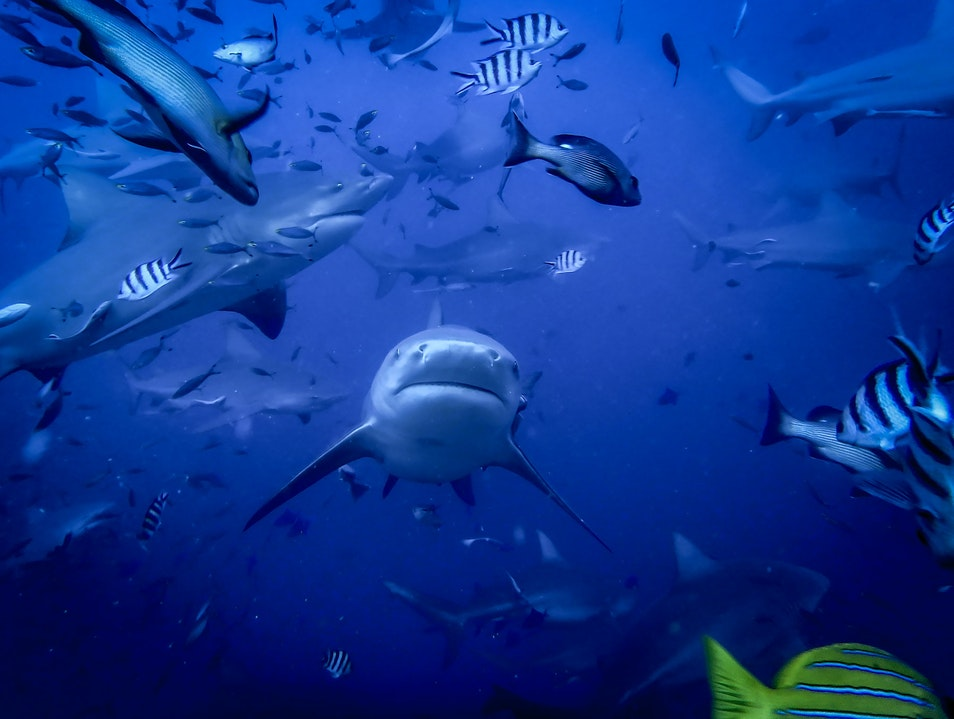 Scuba Diving with Bull Sharks In Fiji Pacific Harbour  Fiji