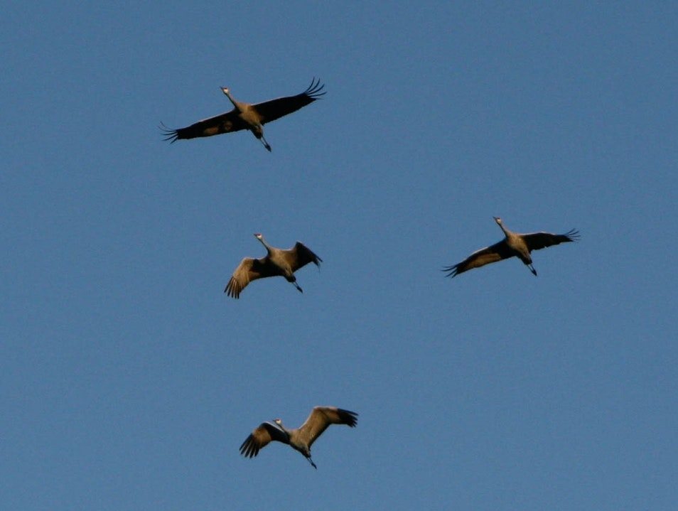 "The annual Sandhill Crane ""Fly In"""