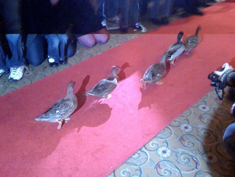 Peabody Marching Ducks Memphis Tennessee United States
