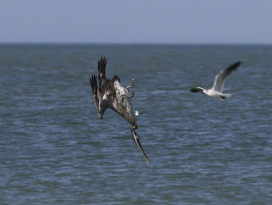 A Mullet Buffet for the Pelicans