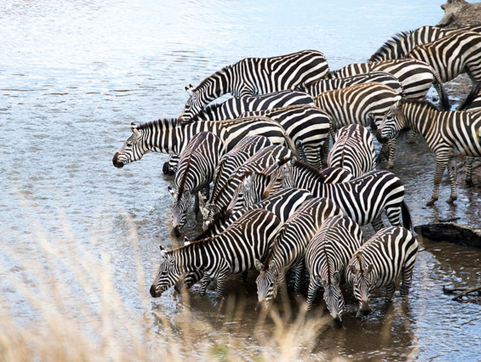 Seeing zebras drinking at the watering hole Nairobi  Kenya