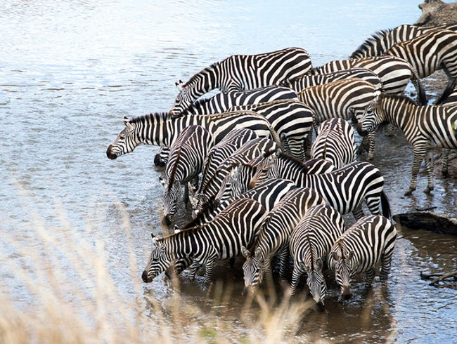 Seeing zebras drinking at the watering hole