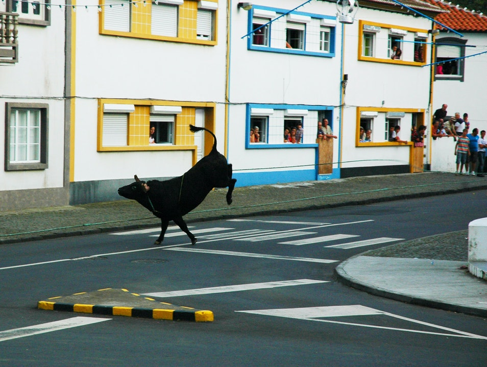 Terceira Island Is Kind to Bulls Terceira  Portugal