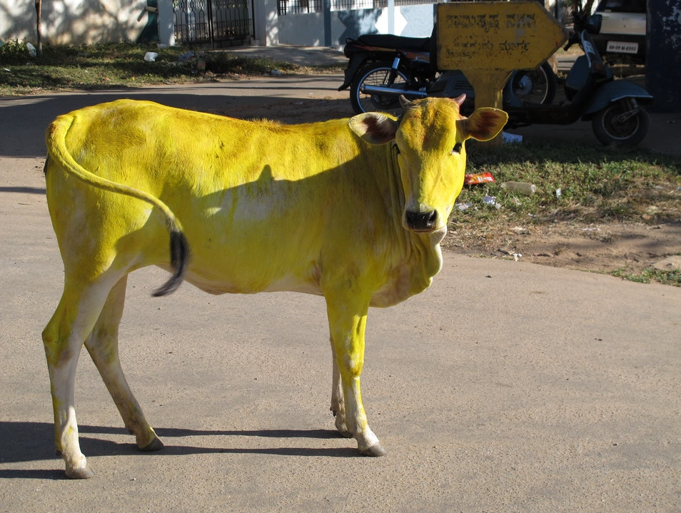 Yellow Cows at the Sankranthi Festival Mysore  India