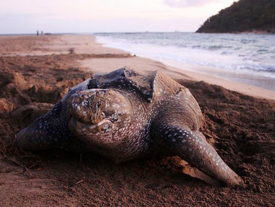 Go Leatherback Turtle Watching In Grenada Saint Patrick  Grenada