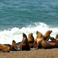 Sea Lions Natales  Chile