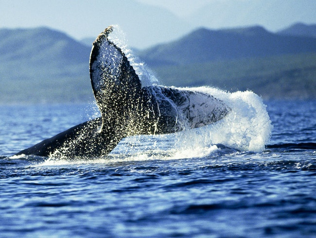 Whale-Watching in Los Cabos