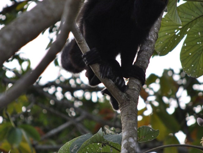 Howler Monkey at Lake Petén Itzá, Guatemala