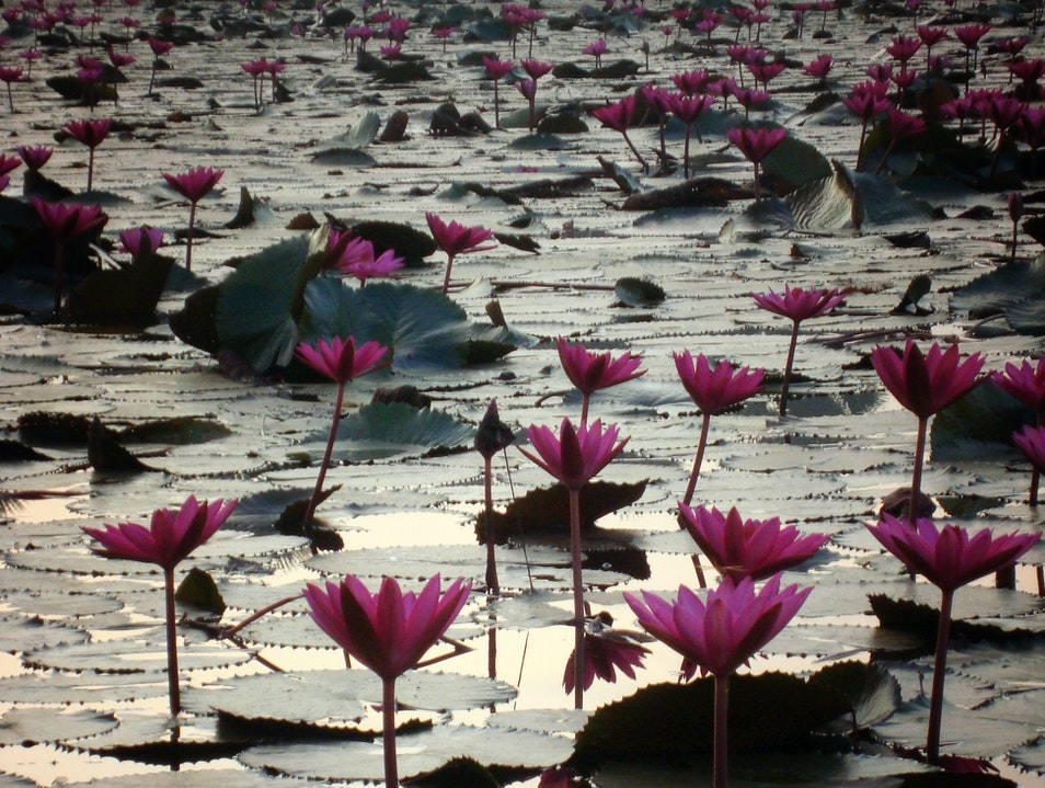 Moat of lotus flowers Siem Reap  Cambodia