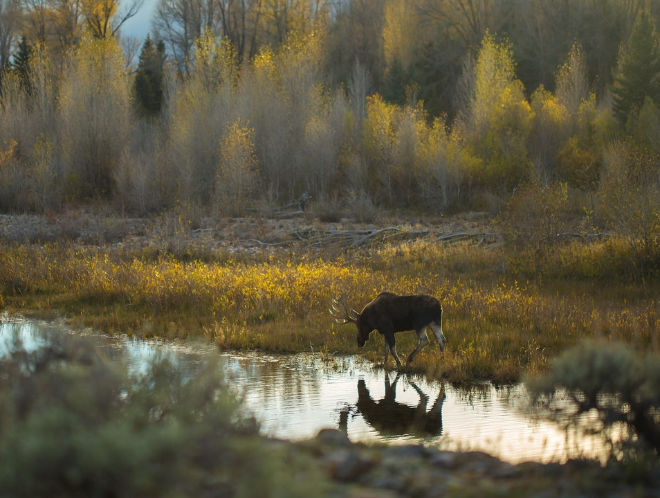 Watch Moose Wander the Rivers Near Yellowstone National Park Yellowstone National Park Wyoming United States