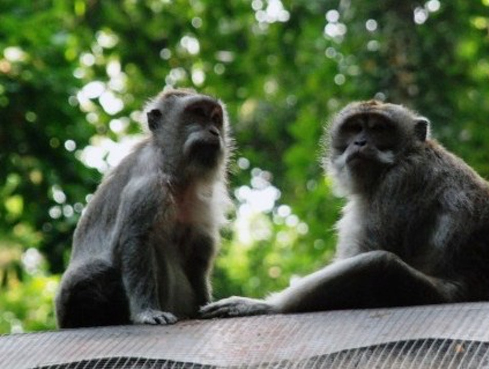 Monkeys among Temples at the Sangeh Monkey Forest, Ubud, Bali Ubud  Indonesia