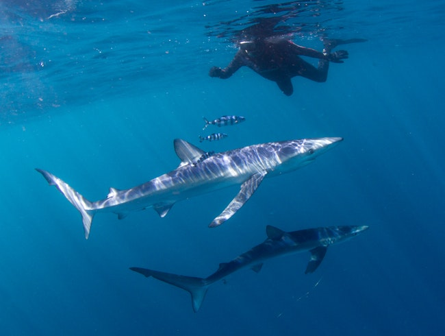 Submerged: Swimming with Sharks