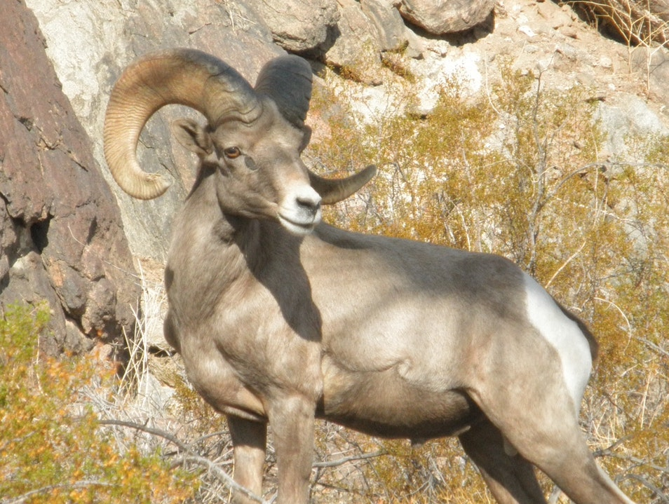 Big horn sheep up close and personal Borrego Springs California United States