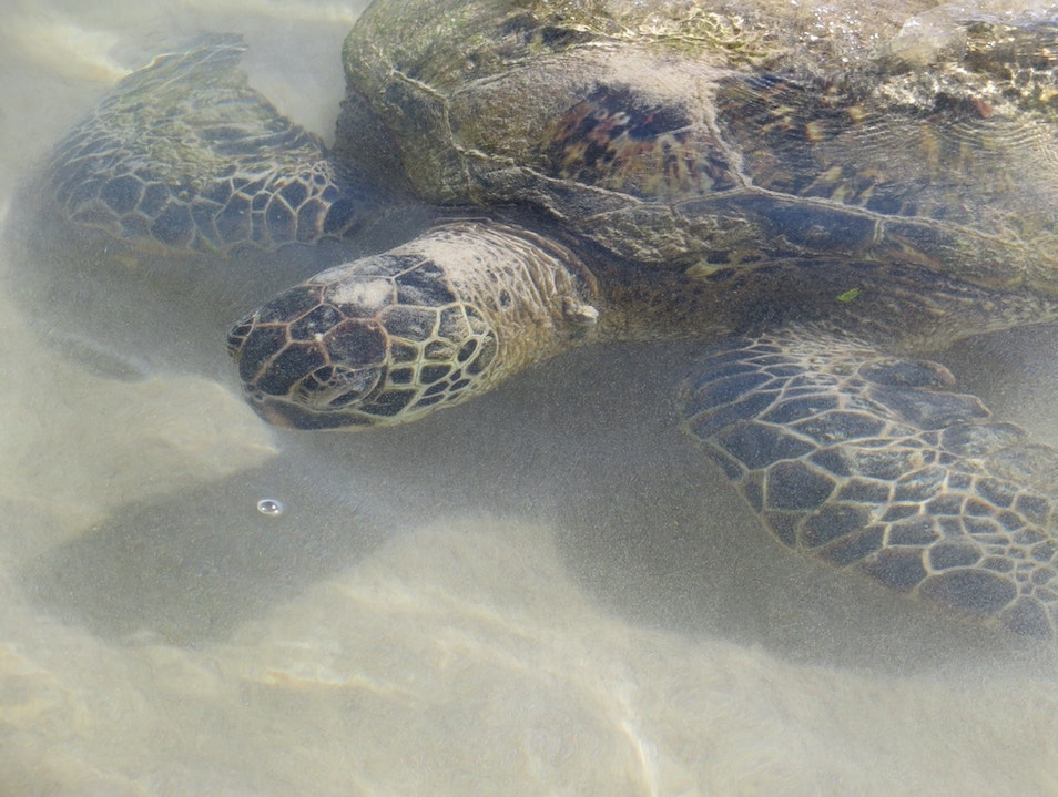 Honu in the shallow water