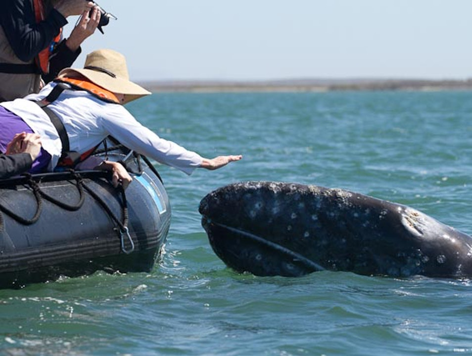 Touch A Whale Baja California Sur  Mexico