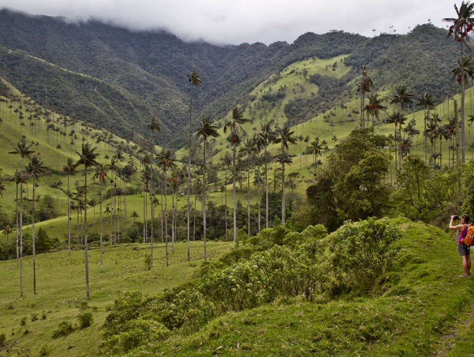 World's tallest palms in Colombia's Coffee Triangle  Murillo  Colombia